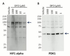 Western blot - Hif1 + PDK1 Hypoxia Human In Cell ELISA Kit (ab125299)