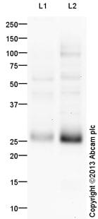 Western blot - Anti-Myf5 antibody (ab125301)