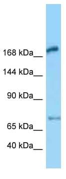 Western blot - Anti-MEGF6 antibody (ab125401)