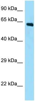 Western blot - Anti-FAM123A antibody (ab125412)