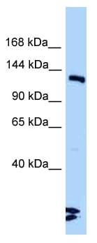 Western blot - Anti-DNA Ligase III antibody (ab125434)