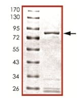 SDS-PAGE - PDE4D protein (Active) (ab125534)
