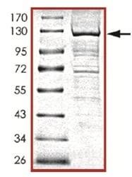 SDS-PAGE - PI 3 Kinase catalytic subunit gamma protein (Active) (ab125538)