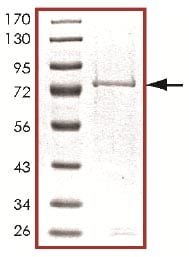 SDS-PAGE - MLK2 protein (Active) (ab125562)