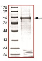 SDS-PAGE - PKMYT1 protein (Tagged) (ab125565)