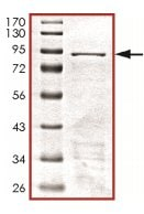 SDS-PAGE - GRB7 protein (Tagged) (ab125569)