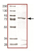SDS-PAGE - Human Cyclin A2 full length protein (ab125570)