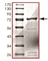 SDS-PAGE - IKK gamma protein (Tagged) (ab125589)