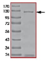 SDS-PAGE - PDE6 beta protein (Active) (ab125593)