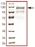 SDS-PAGE - ARK5 protein (Active) (ab125626)
