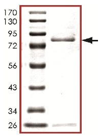 SDS-PAGE - MLK3 protein (ab125630)