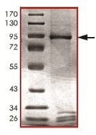 SDS-PAGE - MNK1 protein (Active) (ab125635)