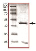 SDS-PAGE - p35 + p25 protein (Tagged) (ab125653)