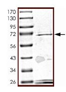 SDS-PAGE - SPHK1 protein (Active) (ab125662)
