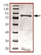 SDS-PAGE - PDE9A protein (Active) (ab125666)