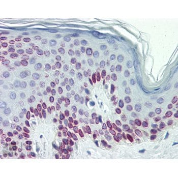 Immunohistochemistry (Formalin/PFA-fixed paraffin-embedded sections) - Anti-Lamin C antibody (ab125679)