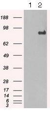 Western blot - Anti-STAT1 antibody [9B12] (ab125685)