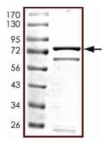 SDS-PAGE - PRAK protein (Active) (ab125743)