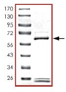 SDS-PAGE - PDE7A protein (Active) (ab125786)