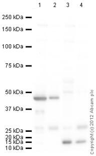 Western blot - Anti-UCP3 antibody (ab125830)