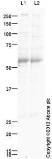 Western blot - Anti-SOX8 antibody (ab125858)