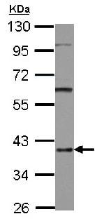 Western blot - Anti-hnRNP D/AUF1 antibody (ab125880)