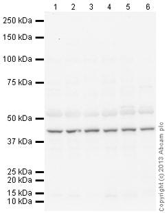 Western blot - Anti-Junctional Adhesion Molecule 1 antibody (ab125886)