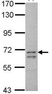 Western blot - Anti-CCDC37 antibody (ab125971)