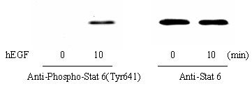 Western blot - STAT6 (Tyr641) In-Cell ELISA Kit (ab126430)