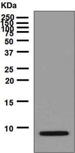 Western blot - Anti-proCNP antibody [EPR6543] (ab129096)