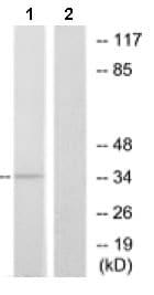 Western blot - Anti-OR13C4 antibody (ab129847)