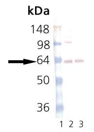 Western blot - Synaptotagmin antibody [ASV30] (ab13259)