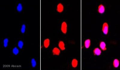 Immunocytochemistry/ Immunofluorescence - Hsp90 antibody (ab13495)