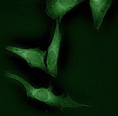 Immunocytochemistry/ Immunofluorescence - Calnexin - ER membrane marker antibody - ER Marker (ab13505)