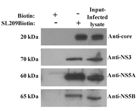 Western blot - Anti-Hepatitis C Virus  NS3 antibody [H23] (ab13830)