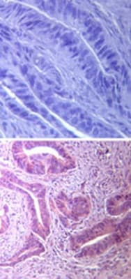 Immunohistochemistry (Formalin/PFA-fixed paraffin-embedded sections) - TLR5 antibody (ab13868)