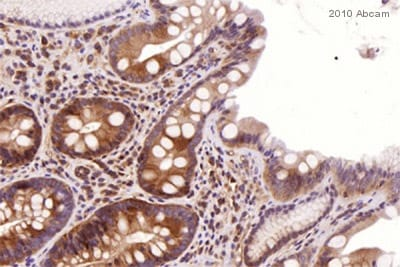 Immunohistochemistry (Frozen sections) - TLR5 antibody [19D759.2] (ab13876)