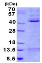 SDS-PAGE - MCL1 protein (His tag) (ab131682)