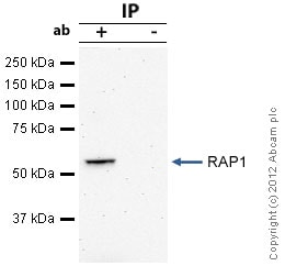 Immunoprecipitation - Anti-RAP1 antibody [4c8/1] - Telomere Marker (ab14404)