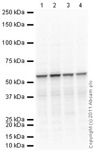 Western blot - Anti-RAP1 antibody [4c8/1] - Telomere Marker (ab14404)