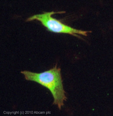 Immunocytochemistry/ Immunofluorescence-PDE4D antibody(ab14613)
