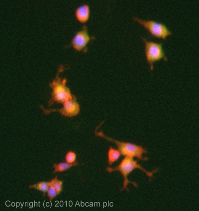 Immunocytochemistry/ Immunofluorescence - Anti-PDE4 antibody (ab14628)