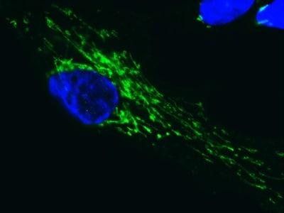 Immunocytochemistry/ Immunofluorescence - SDHA antibody [2E3] (ab14715)
