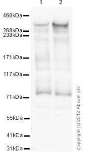 Western blot - Anti-KAT3B / p300 antibody [3G230] - ChIP Grade (ab14984)