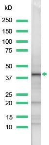Western blot - Wnt1 antibody (ab15251)