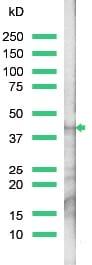 Western blot - Actin antibody (ab15263)
