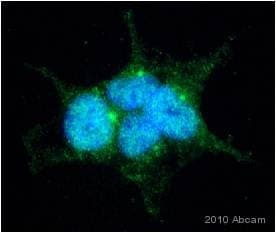 Immunocytochemistry/ Immunofluorescence - Fas Ligand antibody (ab15285)