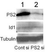 Western blot - Presenilin 2 antibody [APS 21] (ab15548)