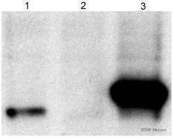 Western blot - NCE2 antibody (ab15707)