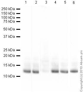 Western blot - Histone H4 (acetyl K8) antibody - ChIP Grade (ab15823)